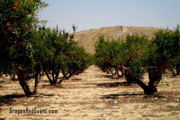 Pomegranates do grow on trees. The grove pictures is near the village of Lachish in Israel.
